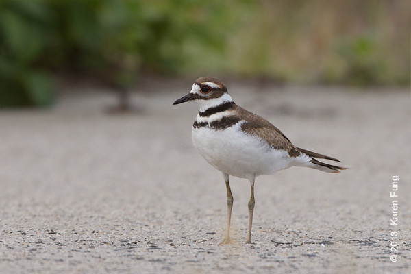 18 August: Killdeer at Jones Beach