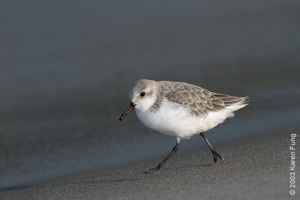 Sanderling at Jones Beach
