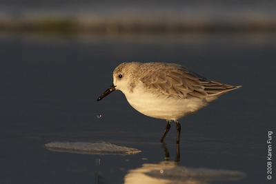 October 14th: Sanderling at Nickerson Beach