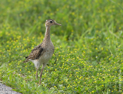 July 4th:  Upland Sandpiper in Montgomery County