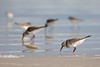 Dunlin and Sanderlings