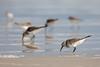 Dunlin and Sanderlings