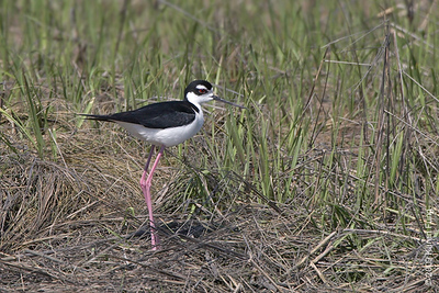 May 10th: Black-necked Stilt at the Oceanside Marine Nature Study Area.  A rare visitor to New York State.