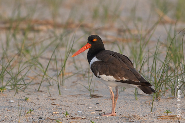 19 June: American Oystercatcher at Nickerson Beach at dawn