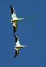 Pelicans7427