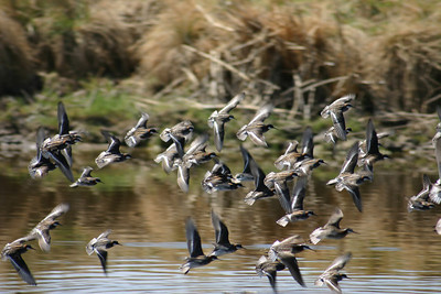 Red-necked phalaropes in flight.  Photo by Scott Root, Utah Division of Wildlife Resources