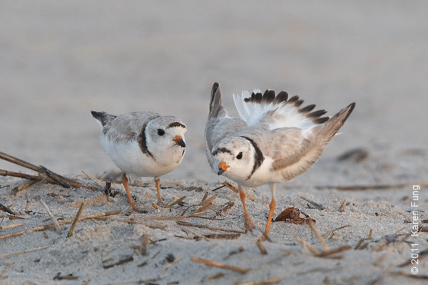 19 June: Piping Plovers at Nickerson Beach at dawn