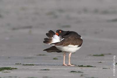 June 7th:  American Oystercatcher preening (and giving me a coy look) at Nickerson Beach