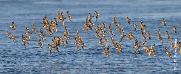6 April: Dunlin in flight at Point Lookout