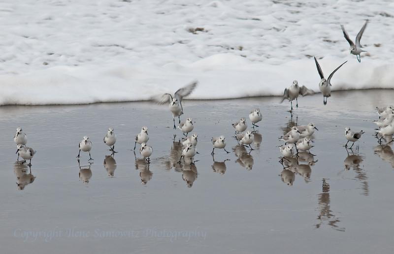 Sanderlings, November, Rockaway Beach, Oregon