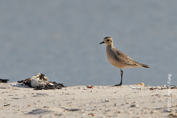 5 Sept: American Golden-Plover at Jones Beach