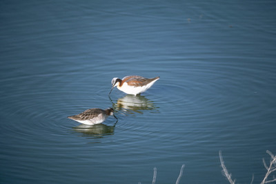 Wilson's phalarope.  Photo by Utah Division of Wildlife Resources.