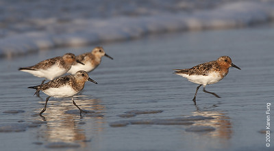 July 11th: Sanderlings running at Nickerson Beach