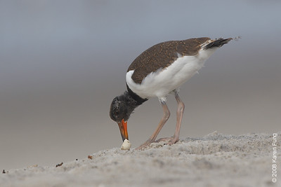 July 27th:  Juvenile American Oystercatcher at Nickerson Beach