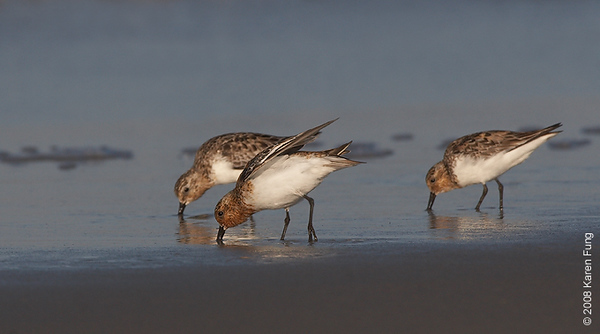 July 11th: Sanderlings feeding at Nickerson Beach
