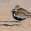 Pacific Golden Plovers (Pluvialis fulva)