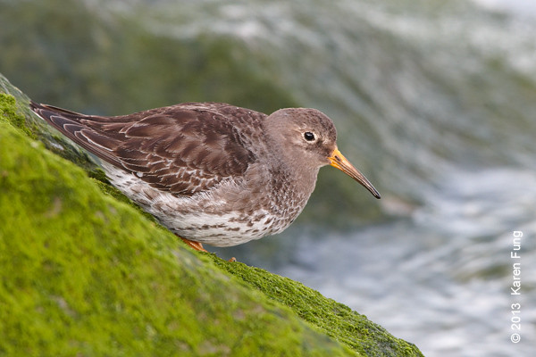 31 March: Purple Sandpiper at Point Lookout