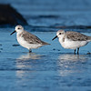 Red-necked Stints (Calidris ruficollis)