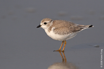 July 27th:  Juvenile Piping Plover at Nickerson Beach