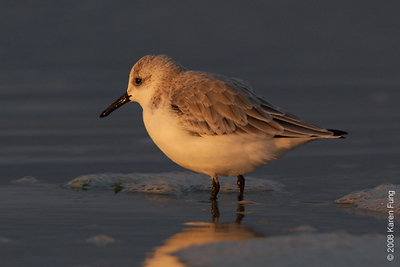 October 14th: Sanderling at Nickerson Beach at dawn
