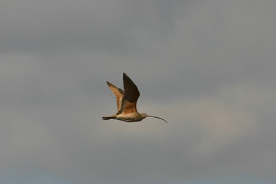 Long-billed curlew in flight.  Photo by Scott Root, Utah Division of Wildlife Resources