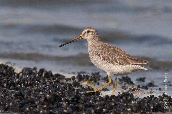6 August: Short-billed Dowitcher at Cupsogue County Park