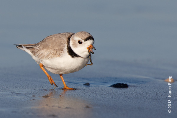 6 April: Piping Plover at Point Lookout