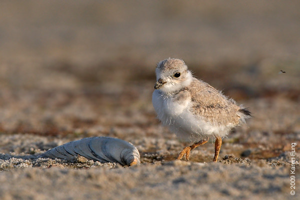 June 30th: Piping Plover chick at Nickerson Beach