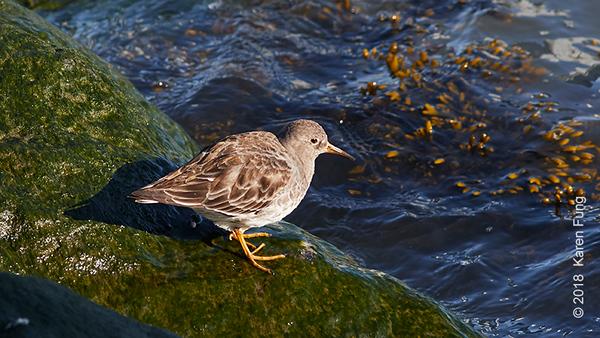 11 March: Purple Sandpiper on Roosevelt Island