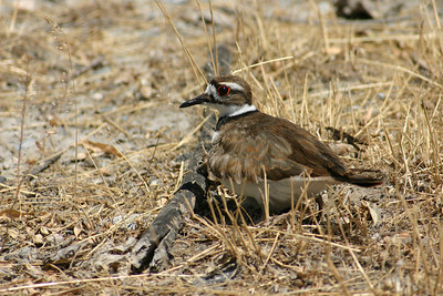 Killdeer sitting on nest.  Photo by Scott Root, Utah Division of Wildlife Resources
