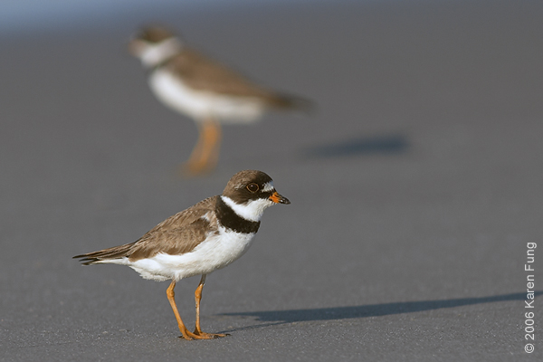 Semipalmated Plovers at Nickerson Beach
