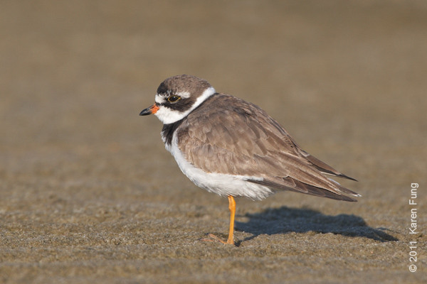 1 September: Semipalmated Plover at Nickerson Beach