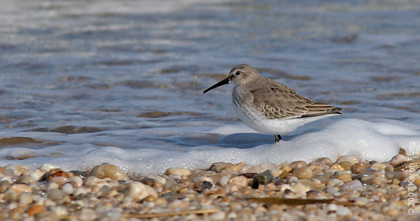 Dunlin at Ransom Beach, Bayville