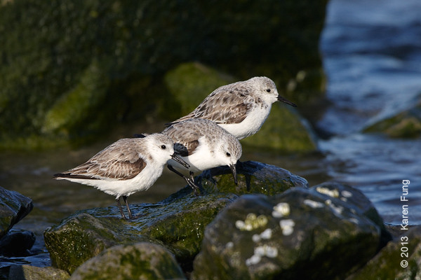6 April: Sanderlings at Point Lookout