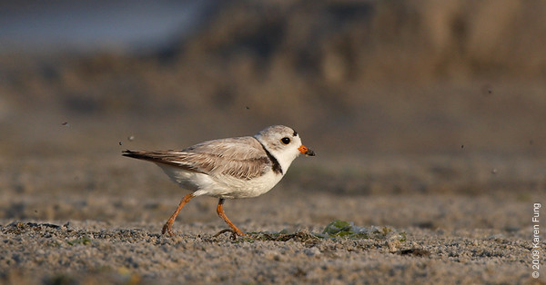 June 30th: Piping Plover (and several bugs) at Nickerson Beach