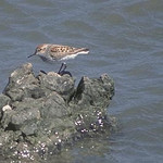 Western sandpiper. Utah Division of Wildlife Resources photo