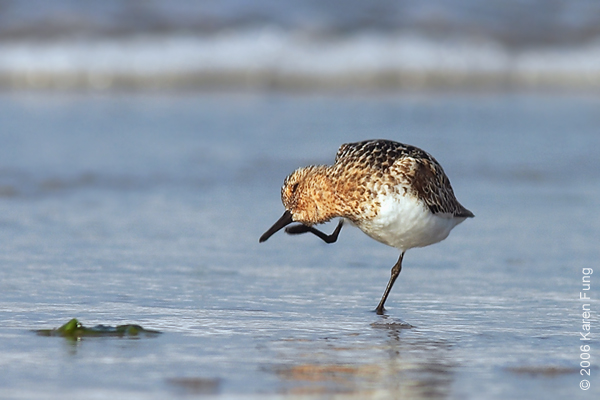 Sanderling in breeding plumage at Nickerson Beach