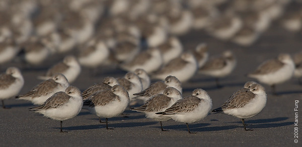 October 12th: Sanderlings sleeping at Nickerson Beach