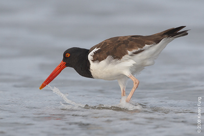 July 27th:  American Oystercatcher at Nickerson Beach