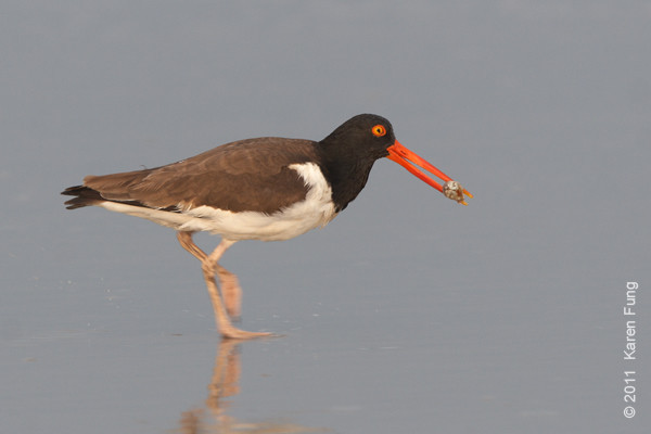 21 June: American Oystercatcher at Nickerson Beach