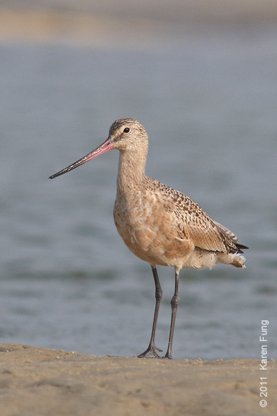 4 September: Marbled Godwit at Cupsogue County Park