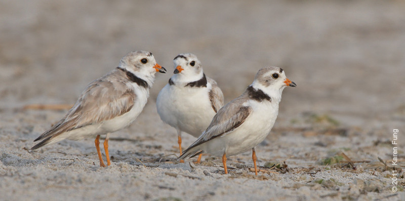 19 June: Piping Plovers at Nickerson Beach