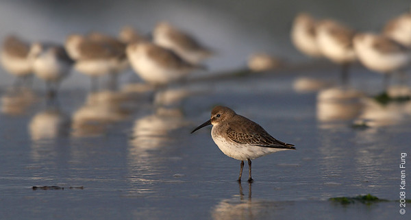 October 14th: Dunlin with Sanderlings at Nickerson Beach