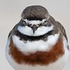 Double-banded Plover (Charadrius bicinctus)