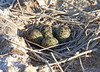 Black-necked Stilt Nest