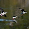 Black-winged Stilt's  (Himantopus himantopus)