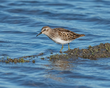 LEAST SANDPIPER, AT YOLO BYPASS WILDLIFE AREA, YOLO CO, CA.