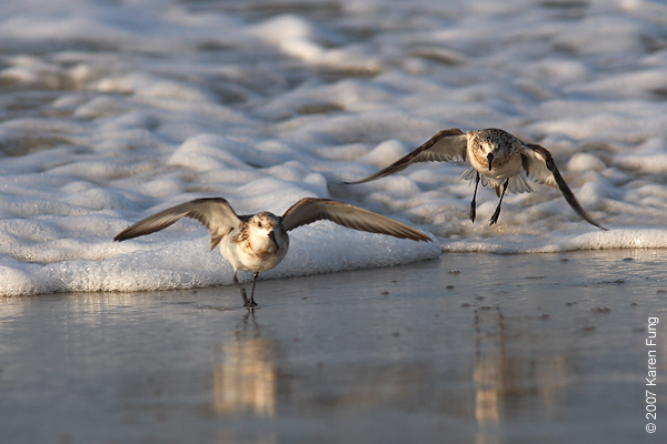 Sanderlings at Nickerson Beach