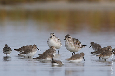 Nov 3rd: Black-bellied Plover and Dunlin at Tobay Beach (Nassau County)
