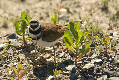 Killdeer on nest of two eggs. Photo taken by J. Kirk Gardner, courtesy of Utah Division of Wildlife Resources.